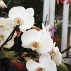 How to prune a phalaenopsis orchid