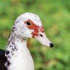 Consejos para incubar huevos de pato criollo