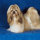 Shih Tzu Hair Cuts & Styles