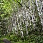 Companion plants for a birch tree