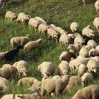 ¿Qué es la lana merino?