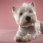 Bathing a West Highland White Terrier Puppy