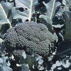 ¿Qué causa las flores amarillas en el brócoli?