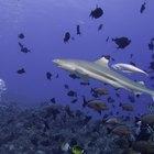 ¿Qué tipo de tiburones son mejores para un acuario?