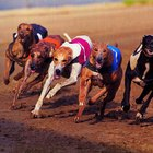 Rhabdomyolysis In Greyhounds