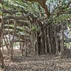 Can You Plant Ficus Trees Outdoors?