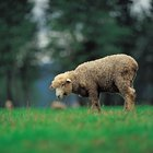 Cómo quitar el olor de la lana de oveja