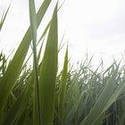 A água sanitária mata a grama?