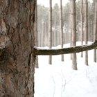 Extracción de resina de pino