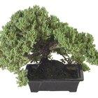 Información del ciprés bonsai hinoki