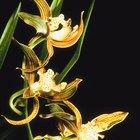 ¿Son las orquídeas venenosas para perros y gatos?