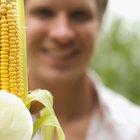 Una vez que crece el maíz, ¿cuánto tiempo falta hasta que las mazorcas estén maduras?