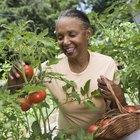 ¿Por qué los tomates se abren cuando crecen?