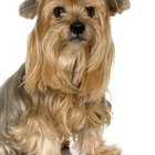 Hypothyroidism in Yorkshire Terriers