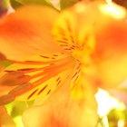 Diferença entre flores completas e incompletas