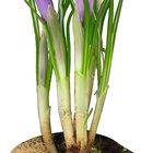 Reproducción en plantas florales como la flor de azafrán y el gladiolo
