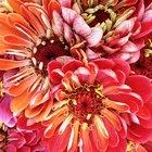 Are Dahliettas Annual Flowers?
