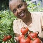 ¿A qué profundidad crecen las raíces del tomate?