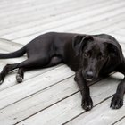 Possible Health Problems with Labradors