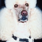 Pet Care for Tear Staining in Poodles