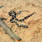 Que espécies de cobras são pretas e brancas?