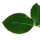 ¿Qué es el nudo de una planta?