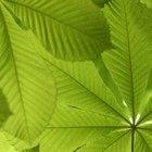 Las hojas amarillas de la yuca