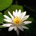 Por que a água é importante para a fotossíntese?