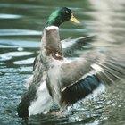 Listado de patos de agua dulce