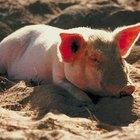 Os pedaços da carne do porco ideais para moagem