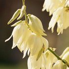 Yucca plants produce clustered flowers.