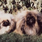 Pekingese Back Pain Symptoms