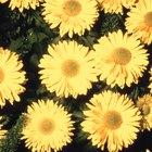 Nombres de las variedades de crisantemos