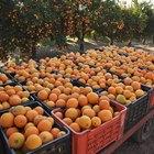 Gusanos en los naranjos