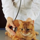 Why a Cat Is Purring & Breathing Funny After Vaccinations