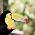Aves de florestas tropicais que comem cobras