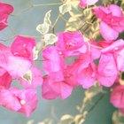 Cómo podar la Bougainvillea trepadora para una máxima floración