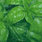 ¿Qué tipo de fertilizantes puedo usar para cultivar albahaca dulce?