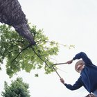 How to prune young beech hedges