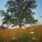 ¿Qué son las manchas marrones en las hojas de nogal?