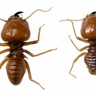 Adaptations of Termites in the Tropical Rain Forests