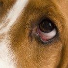 ¿Qué puedo darle a mi perro para las alergias?