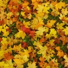Do not use leaves treated with herbicides or pesticides as mulch.