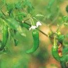 Qué provoca que las floraciones del pimiento se vuelvan marrones después de florecer