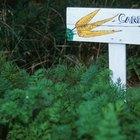Cómo cultivar trasplantes de zanahoria