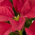 How to Care for a Poinsettia Plant Year Round