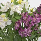 Is Alstroemeria Dangerous to Cats?
