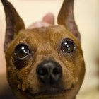 Mange in a Miniature Pinscher