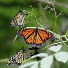 Como diferenciar borboletas monarca de borboletas vice-rei