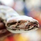 Cómo incubar huevos de serpientes pitón